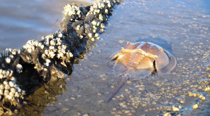 Horseshoe crab on Bowers Beach