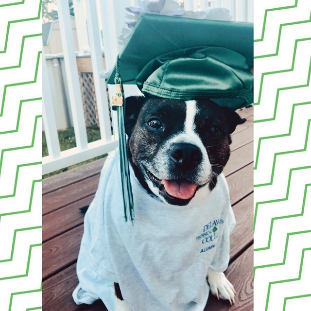 A small dog with black and white fur wearing a Delaware Tech shirt and a green graduation cap